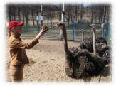 Африканские страусы в Токсово